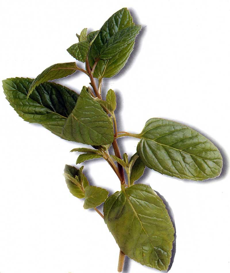 La Menthe est la plus populaire des plantes aromatiques